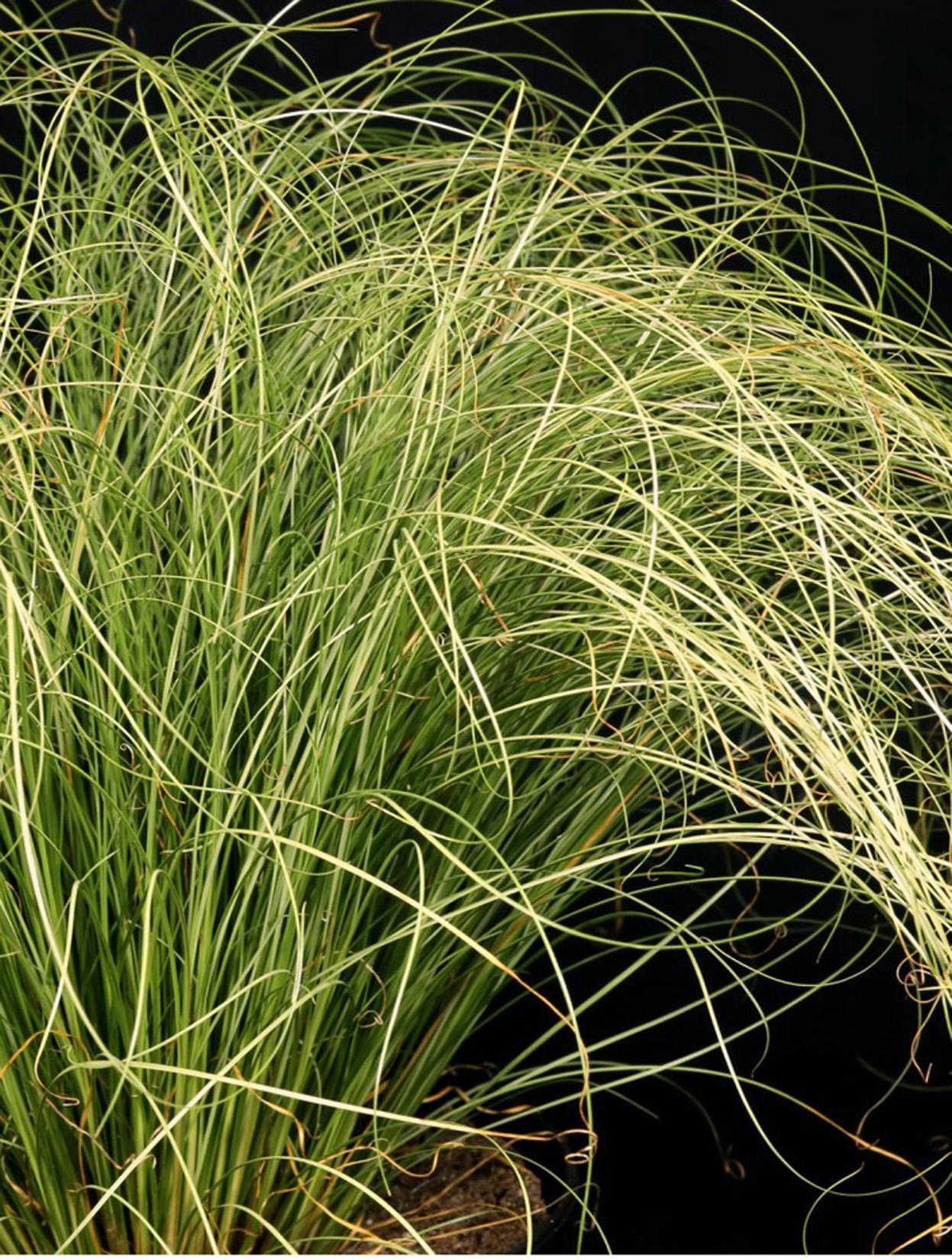 Трава осока картинке